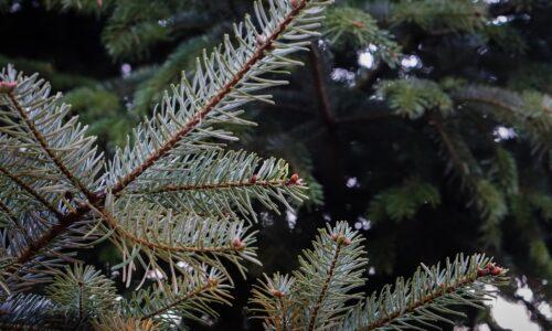 Świerk srebrny Szkółka Roślin CIS